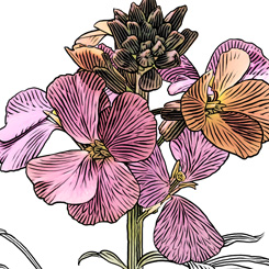 pen and ink motley wallflower botanical