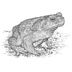stipple animals marinus toad