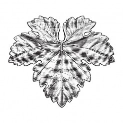 pen and ink – grape leaf