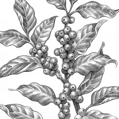 pencil sketch motley coffee plant