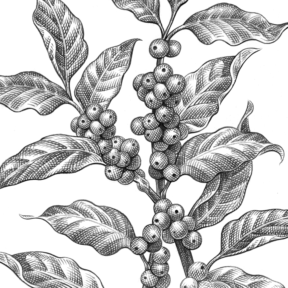 Coffee Bean Plant Drawing Zoom