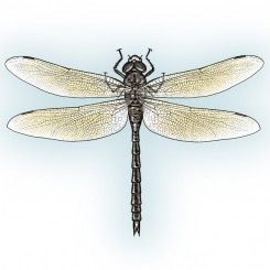 stipple animals dragonfly