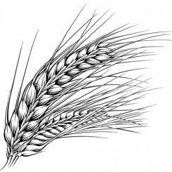 pen and ink illustration – barley