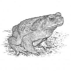 stipple animals marinus toad